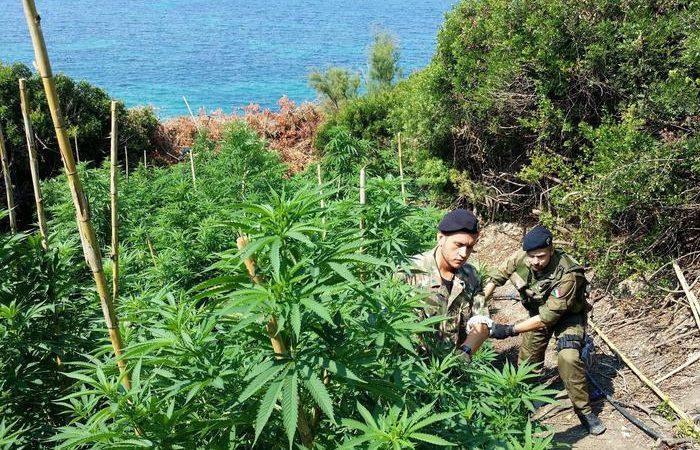 Scoperta piantagione di marijuana